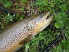 Ørret (Salmo trutta) : Misc pictures of browntrout and seagoing browntrout.