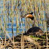 Toppdykker : Misc pictures of a pair of Great Crested Grebe from a lake nearby